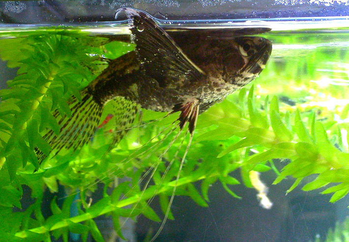 Other primitive fishes primitive fishes for Freshwater butterfly fish