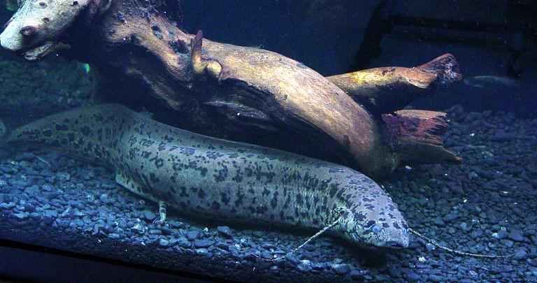 Lungfishes Primitive Fishes
