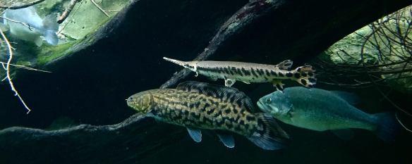 Gar Bowfin Bass Banner 1a
